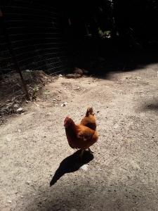 Lompico chicken